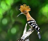 Common or Eurasian Hoopoe the lovely crested and spiky hair bird carrying food for its chicks in the nest poster