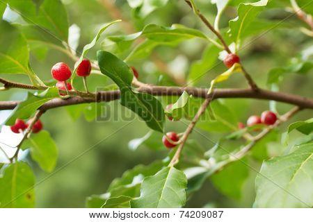 Ripe Autumn Olive Berries (elaeagnus Umbellata) Growing On A Branch