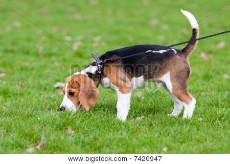 Beagle On Green Grass