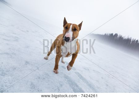 Bullterrier In Icy Landscape
