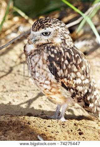Burrowing Owl Vertical