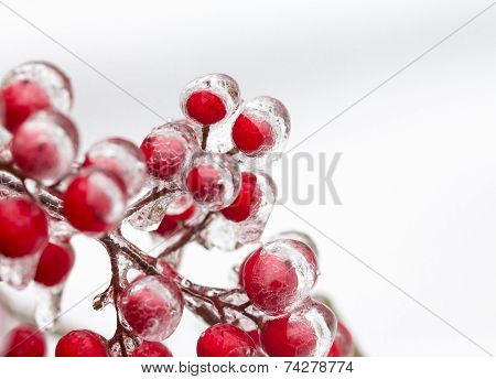 Red Berries Covered In Ice