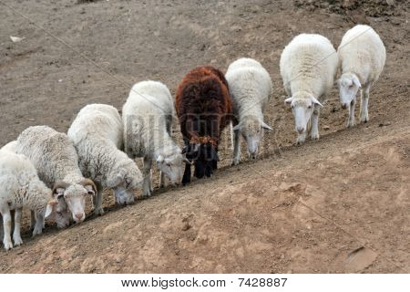 Seven White And One Brown Sheep