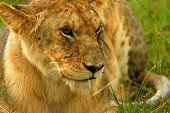Lioness under rain in the wilderness. Africa. Kenya. Masai Mara poster