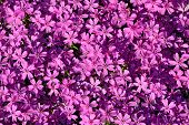 Beautiful natural background of small purple flowers poster