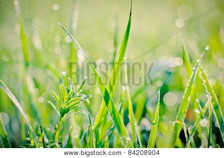 Raindrops on blades of grass at early morning