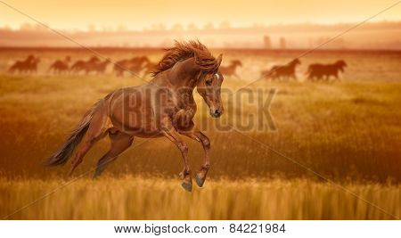 Red horse galloping, jumps in the grass lit by the rays of dawn. Stallion against the backdrop of a herd of horses. poster