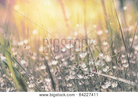 Grass And Little White Flowers On The Field