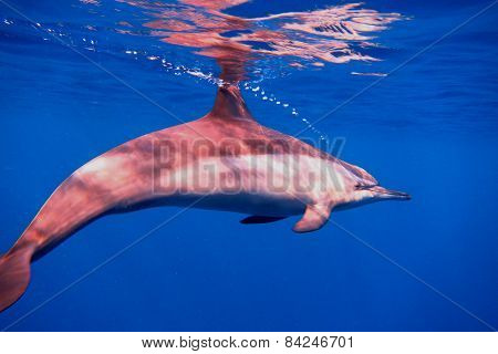 Dolphin In The Blue Sea