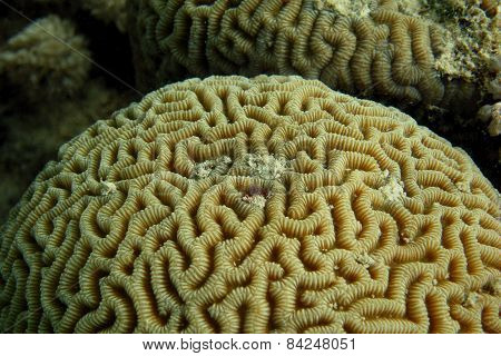 Large Yellow Coral