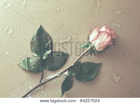 rose flower lying on water droped background