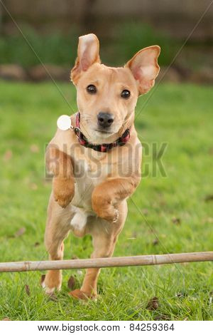 Dog Jumping With Flapping Ears