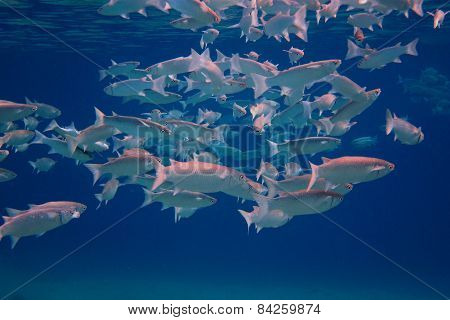many silver fish in the blue sea