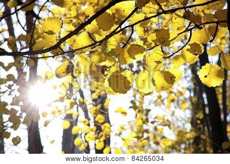Autumnal Cottonwood Forest