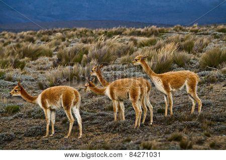 Beautiful vicugnas in Chimborazo National Park, Ecuador