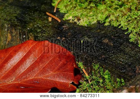 red brown leaf lies on the forest floor in autumn