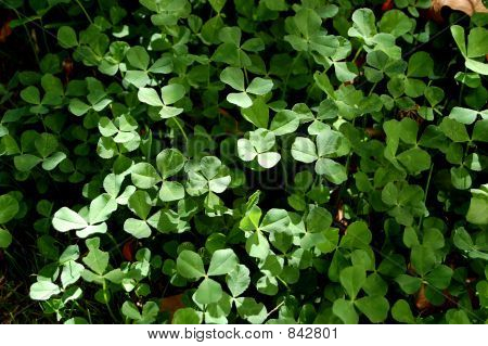 Clover Patch
