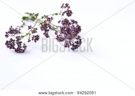 Origanum common, Origanum Vulgare