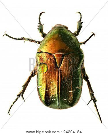 Green beetle. Rose chafer , cetonia aurata, isolated on a white background poster