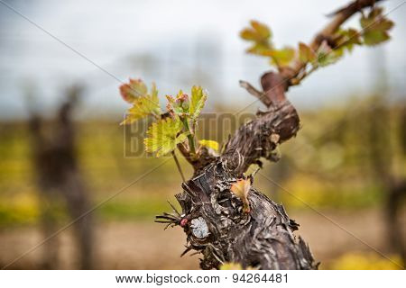 New leaves sprouting at the beginning of spring on a trellised vine growing in a vineyard in a winery, close up detail