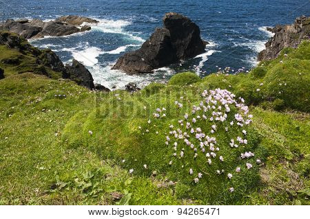 Sea Thrift (Armeria maritima) flowering