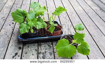 cucember plant