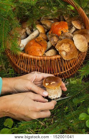 Picking Mushrooms. Female Hands Cut Fresh Edible Young Mushroom Boletus Edulis Hunting Knife Near Wicker Basket With Edible Mushrooms In Forest Close Up.