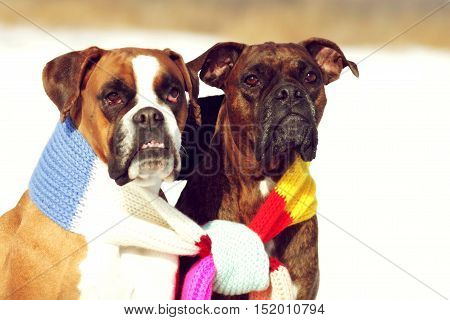 two dogs of breed boxer sitting in the winter on snow associated with one scarf in bright stripes. The concept of romance and love.