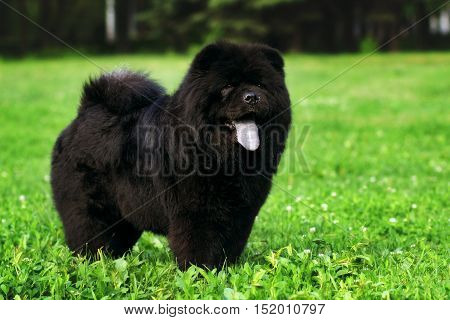 fluffy dog breeds Chow Chow black walks in the summer. The family pet stands on green grass.