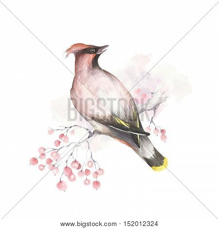 The image of waxwings on a branch. Watercolor illustration