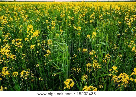 The vast field sown with rape. Blooming yellow rape