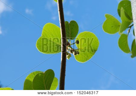 Kiwi fruit buds and leaves against blue sky in Kerikeri New Zealand NZ