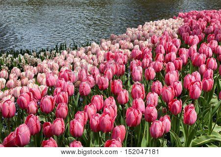 Flowers in the Keukenhof park Lisse. Netherlands.