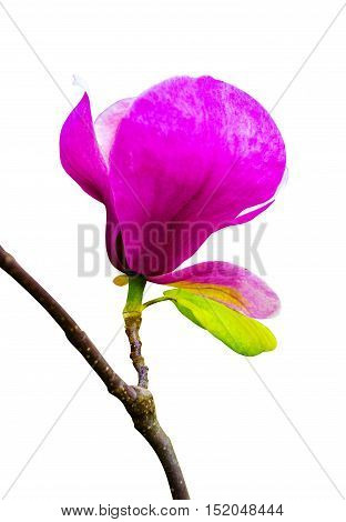 decoration of few magnolia flowers. pink magnolia flower isolated on white background. Magnolia. Magnolia flower.