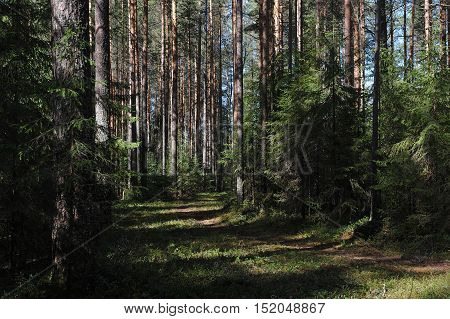 Landscape. Forest path in the spring taiga