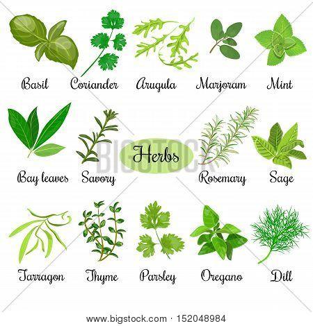 Big vector set of popular fresh culinary herbs. Basil, coriander, arugula, marjoram, mint, bay leaves, savory, rosemary, sage tarragon thyme parsley oregano dill
