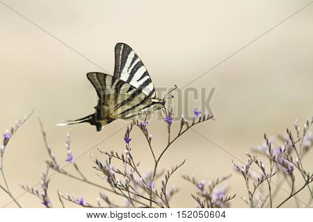 Beautiful scarce swallowtail butterfly flying around pink flower