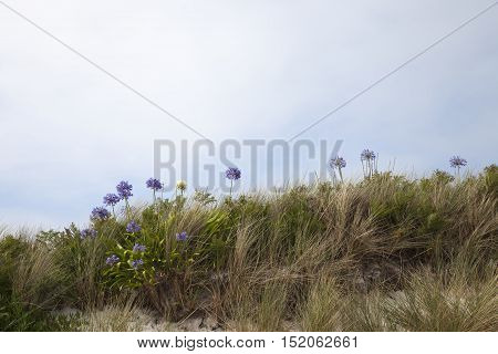 Agapanthus flowers, Tresco, Isles of Scilly, England