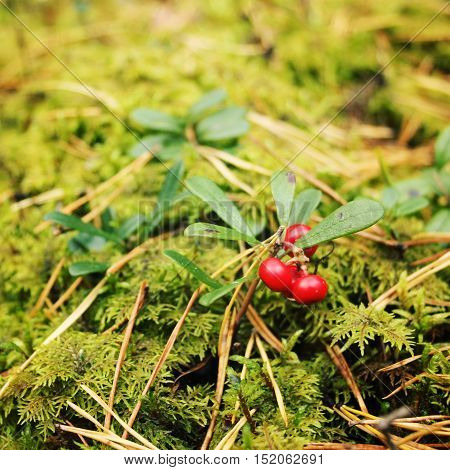 Bright red Lingonberry in the forest. Berry Picking in Russia. Cowberry in the nature. Organic food. Autumn photo. Toned effect.