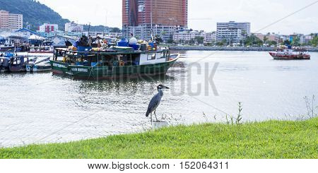 Yellow-crowned Night Herons (nyctanassa Violacea)