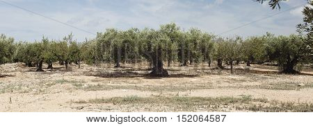 Plantation of olives on the background of the blue sky