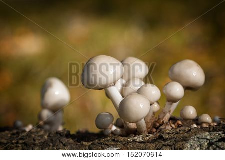 Porcelain fungus, otherwise known as beech tuft or poached egg fungus, growing from the rotting trunk of a fallen beech tree. New Forest National Park, Hampshire, UK