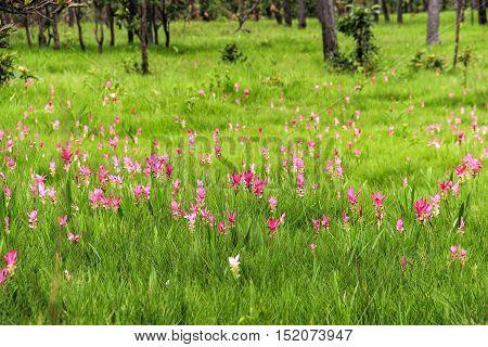 Curcuma pink flower blooming in rain forest in Thailand.