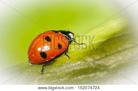 a red lady bug or lady bird