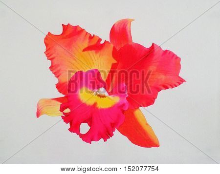 Watercolor painting original realistic redpink color of orchid flower in white background. Original painting