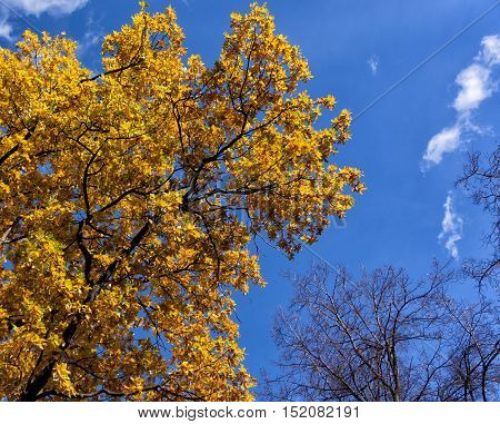 Oak with yellow leaves against the blue sky with clouds