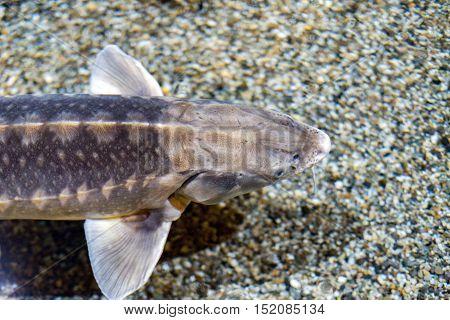 sturgeon fish caviar eggs underwater portrait close up