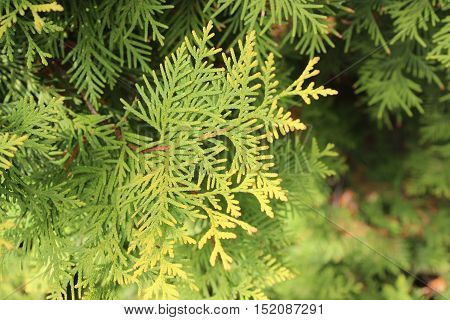 Autumn yellow and green twigs of arborvitae bush