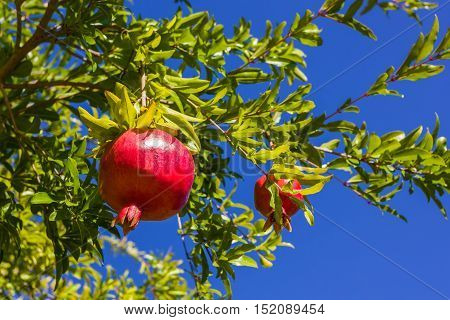 pomegranate ripening on the tree сlear day