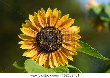 Sunflower (Helianthus). Close-up of a Sunflower. Spring Flowers. Garden Flowers. Yellow Flowers. Blooming Flowers in Spring